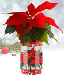 [Weihnachtstipp] Weihnachtsstern als Dosenpflanze